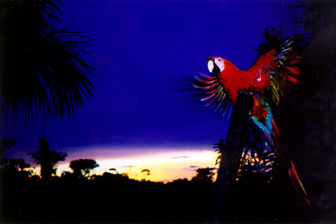 Macaw-Sunset-Near-Iquitos