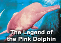 Legend | Pink Dolphin
