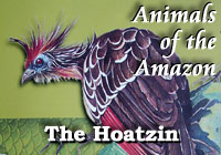 Amazon Animals | Hoatzin