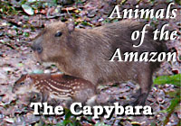 Amazon Animals | Capybara